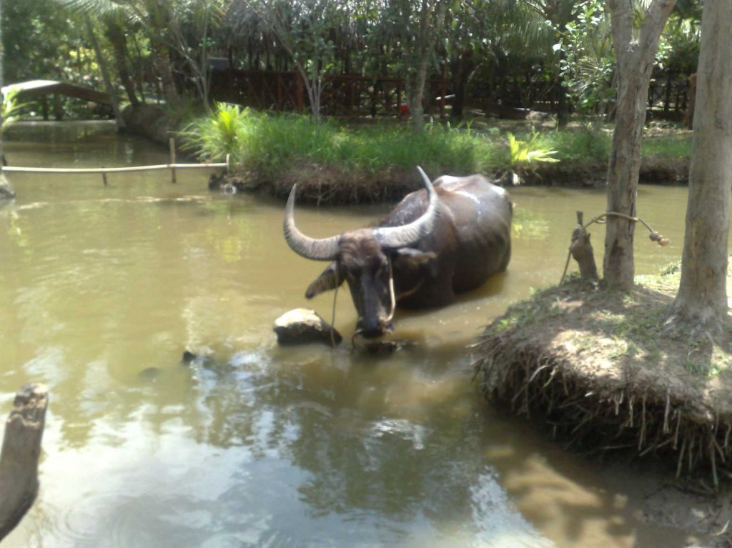 boeuf excursion delta mekong