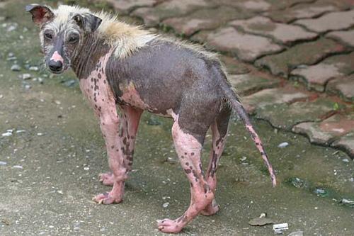 chien thailande