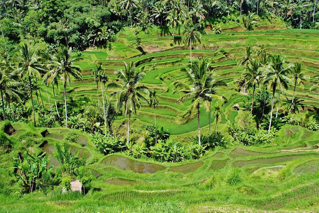 verdure-indonesie